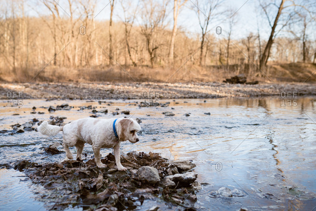 Dog walking on rocks in the middle of a stream