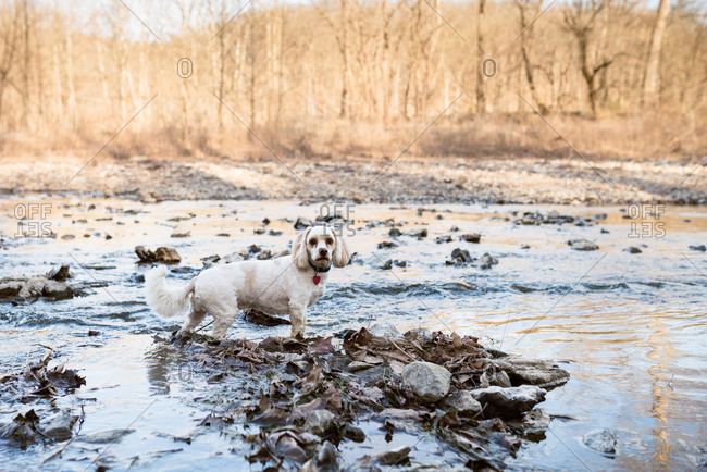 Dog standing in a stream in the woods