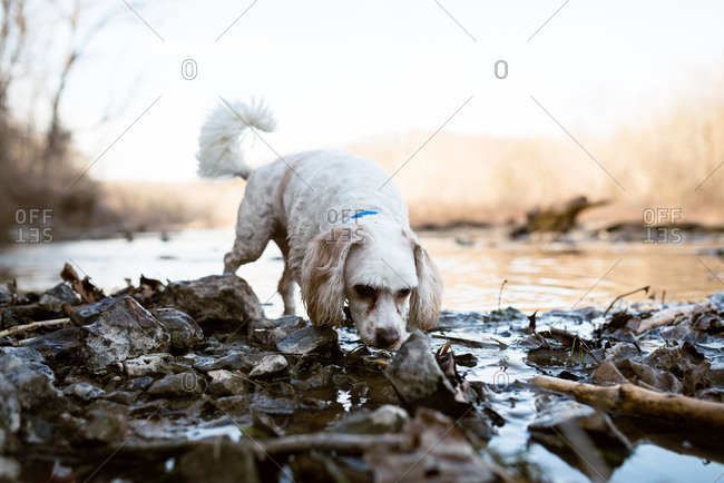 Dog sniffing rocks in the middle of a stream