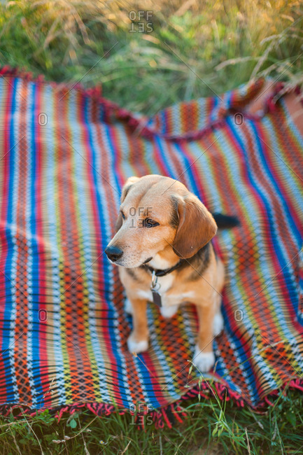 Dog sitting on blanket in the grass