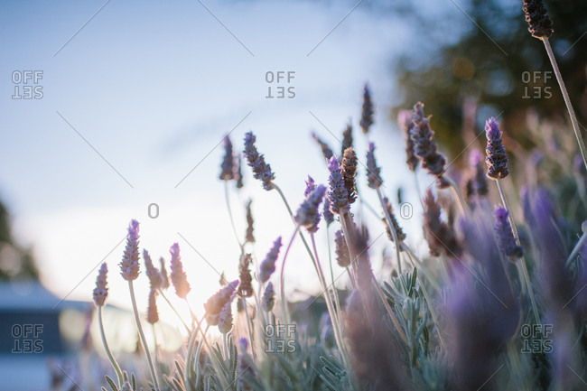 Close up of blooming lavender plants
