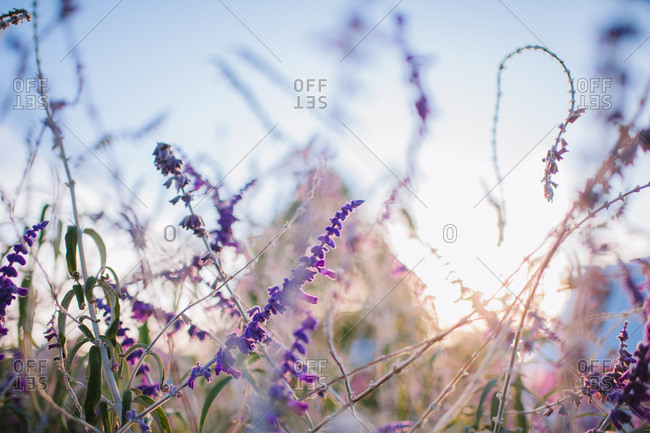 Lavender plants blooming in a field at sunset