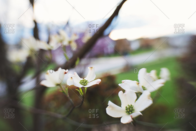 Close up of dogwood blossoms on branch