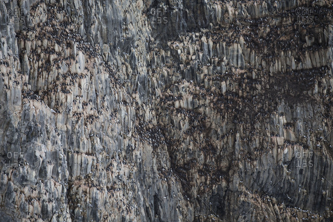 Murres covering the side of an arctic cliff