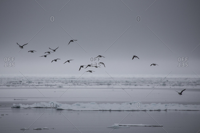 Murres flying over the Arctic ocean