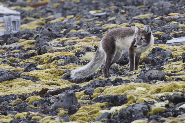 Arctic fox walking on moss covered rocks
