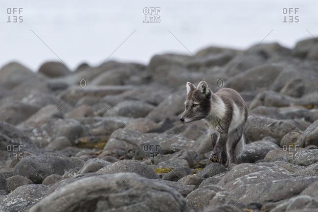 Arctic fox walking on rocks in Franz Josef Land