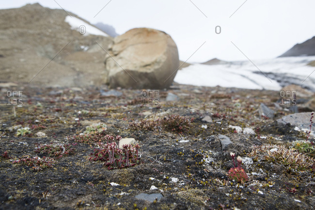 Small flowers growing on the arctic island of Franz Josef Land