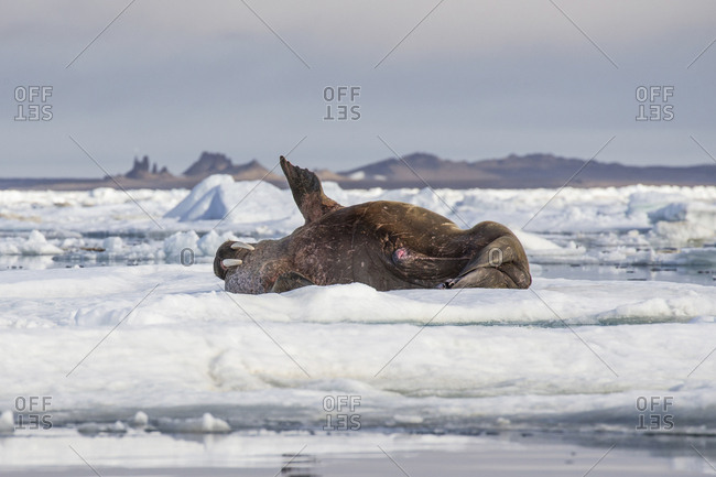 Walrus lying on his back, Franz Josef Land, Russia