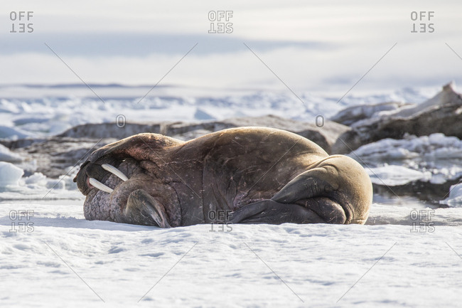 Walrus lying on the ice, Franz Josef Land, Russia