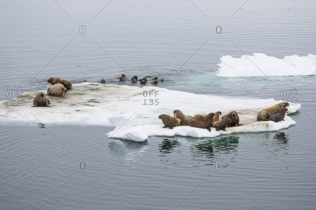 Group of walruses on the ice, Franz Josef Land, Russia