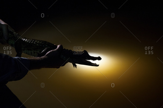 Silhouette of caiman being held over the side of the boat at night on the Amazon River