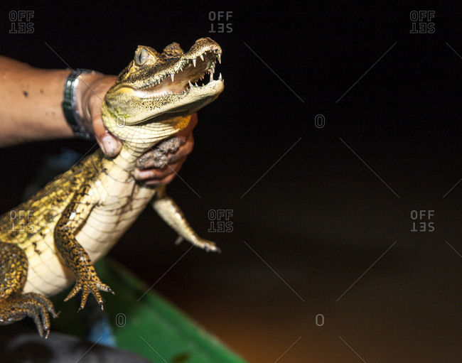 Caiman being held over the side of the boat at night on the Amazon River