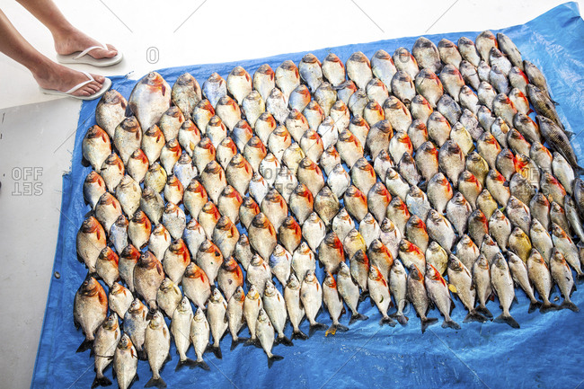 A days catch of Piranha spread out on a blue tarp and a woman's feet