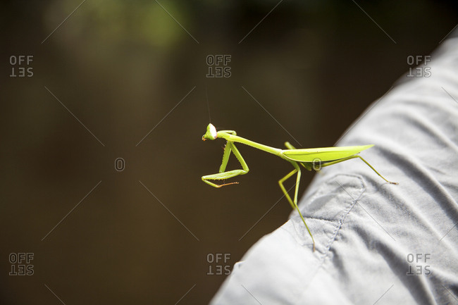 Praying mantis on a person's shoulder