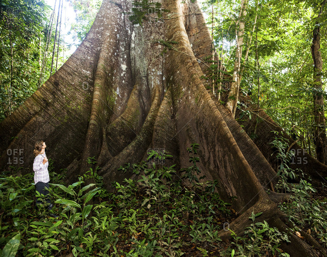 Woman gazing at ceiba tree in Amazon jungle