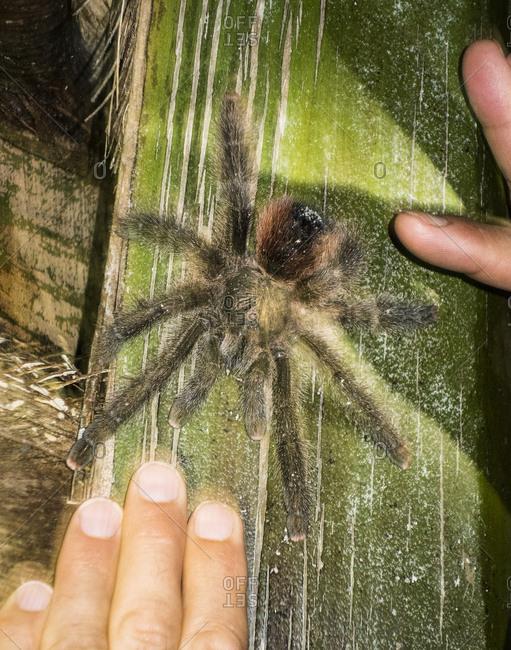 Hands by tarantula on banana leaf