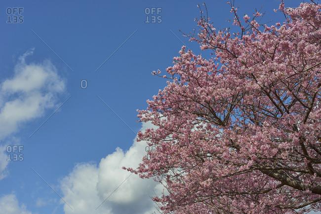 Cherry blossoms in full bloom at Kawazu, Shizuoka Prefecture, Japan