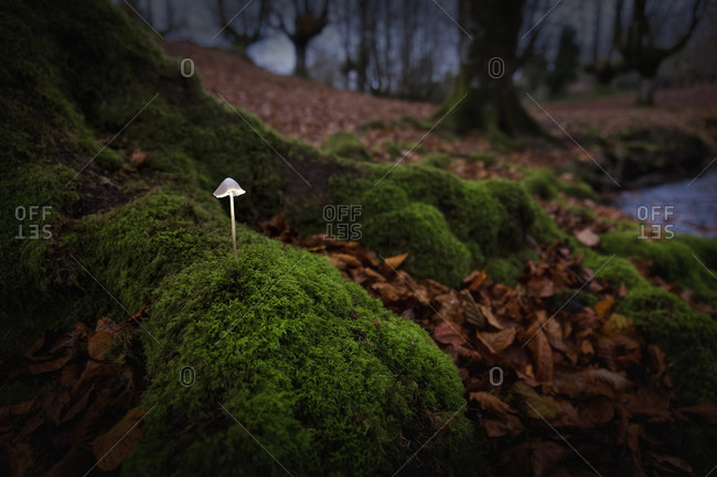 A Mushroom Growing In Beech Forest Of Gorbea Natural Park