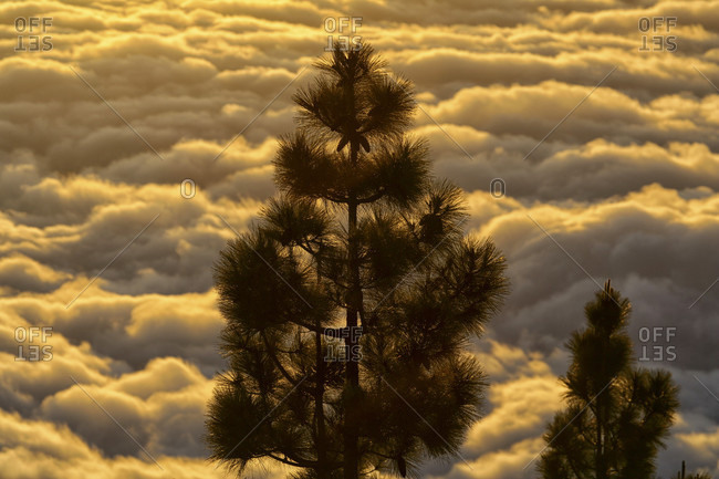 Pine Trees With Cloudscape In The Background At Teide National Park