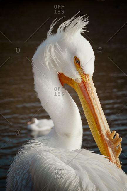 Portrait Of A Pelican In Saint James Park