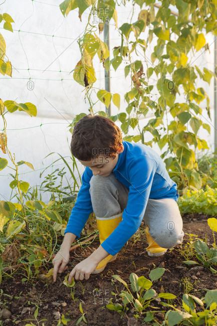 Boy Plants Lettuce Inside A Greenhouse