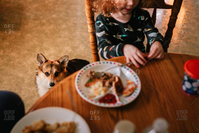 Corgi waiting for food under breakfast table