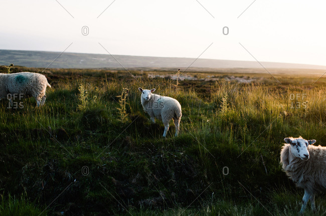 Sheep grazing in the countryside of Yorkshire, England