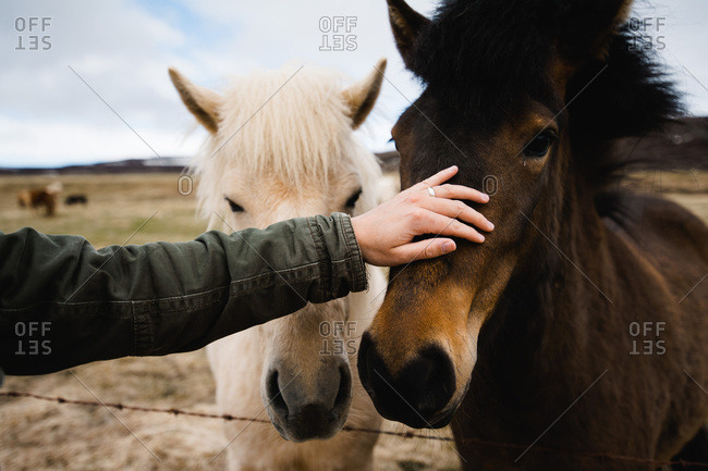 Hand petting a horse, Westfjords, Iceland