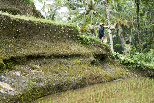 Tegallalang, Bali, Indonesia - February 19, 2017: Balinese man working in rice paddy