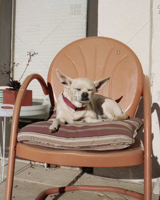 Chihuahua dog relaxing on chair outside