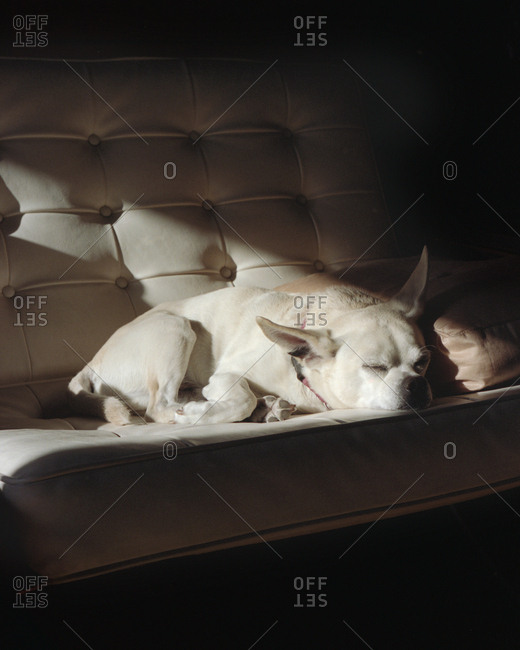 Chihuahua dog sleeping on sofa