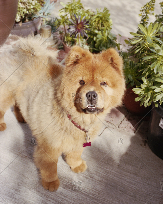 Portrait of chow chow puppy