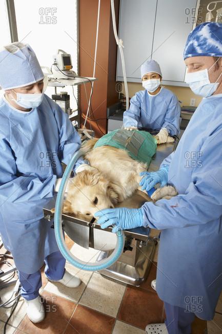 Veterinarians Working on Dog