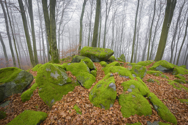 Beech Forest (Fagus sylvatica) and Felsenmeer in Morning Mist, Odenwald, Hesse, Germany