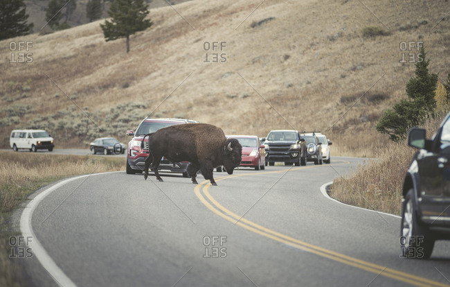 USA- Yellowstone National Park- Bison crossing road