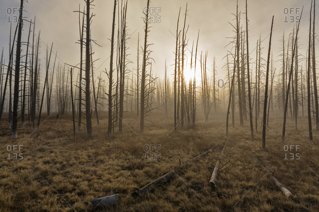 USA- Yellowstone National Park- forest with dead trees