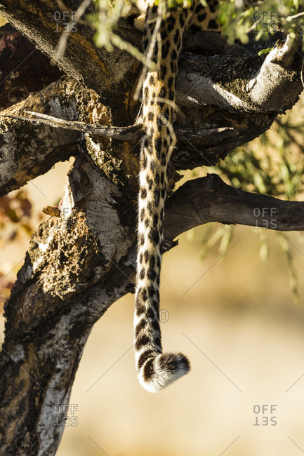 Botswana- Tuli Block- tail of leopard hiding on a tree