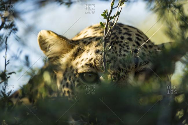 Botswana- Tuli Block- leopard hiding behind twigs