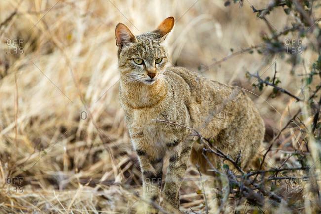Botswana- Tuli Block- portrait of African wildcat