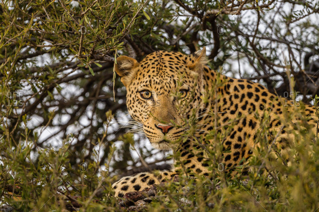 Botswana- Tuli Block- portrait of leopard on a tree