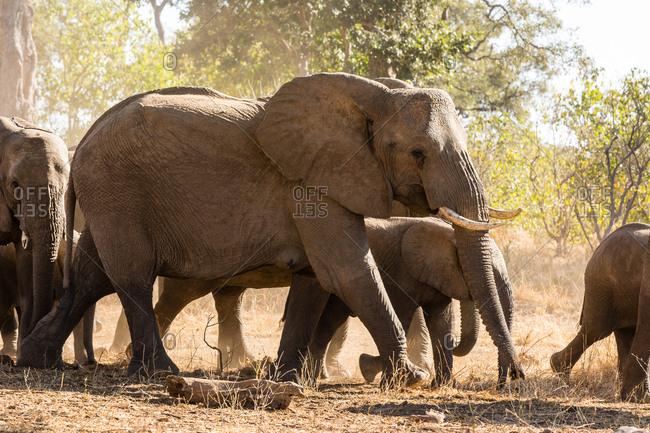 Botswana- Tuli Block- herd of African elephants