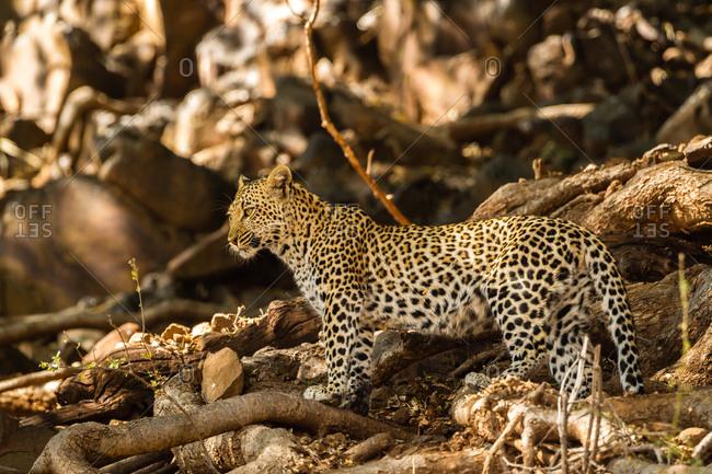 Botswana- Tuli Block- leopard