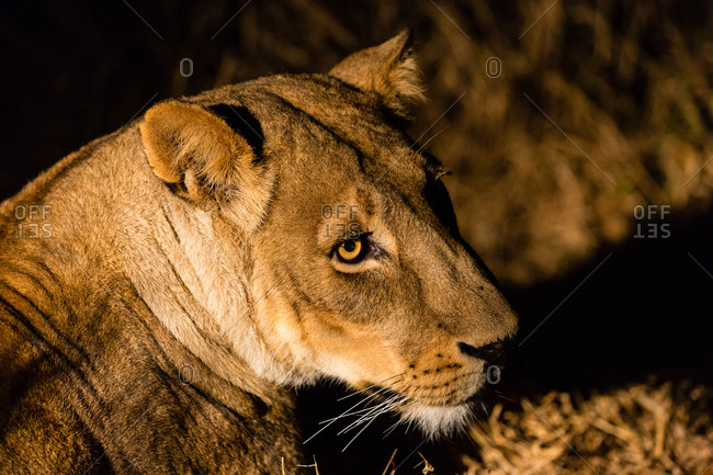 Botswana- Tuli Block- portrait of lioness
