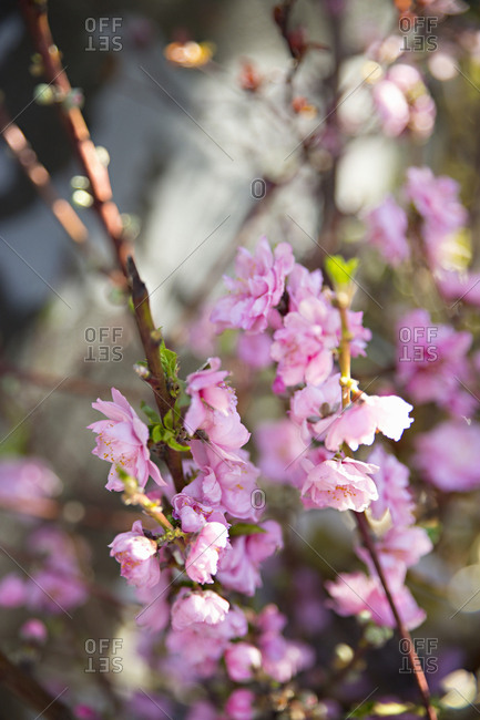 Branches with pink flowers