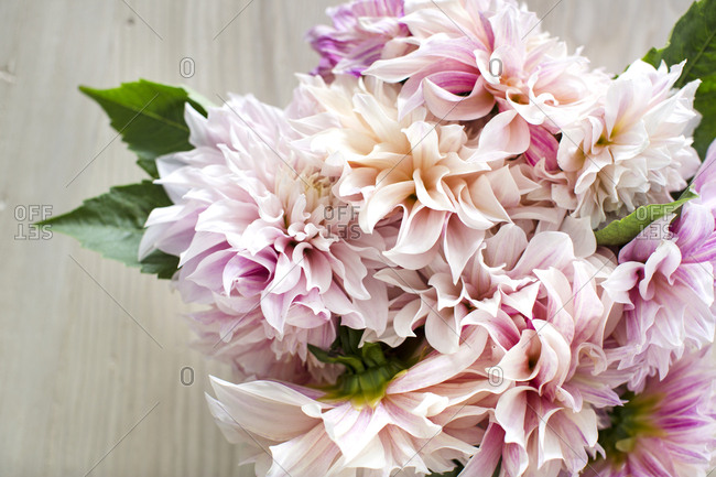Bouquet of pink dahlia flowers