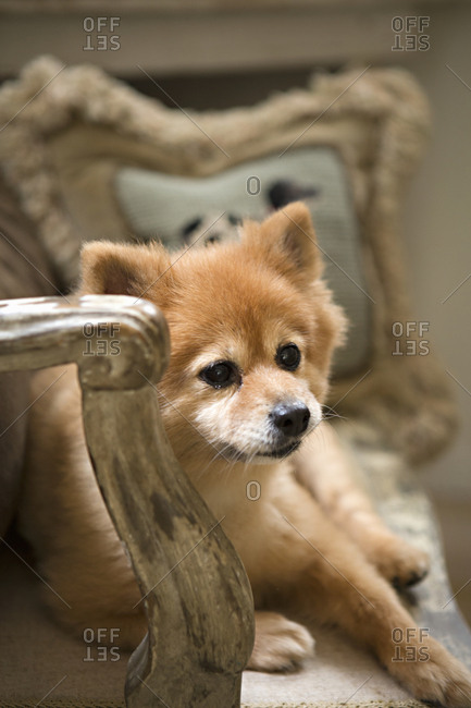 Cute dog on antique furniture