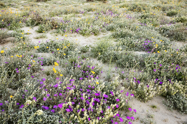 Variety of desert flowers during the Super Bloom in Anza Borrego State Park