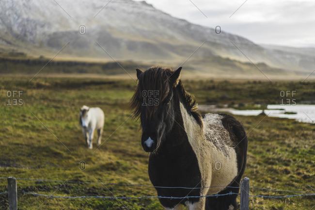 Icelandic horses near akranes, iceland, euope