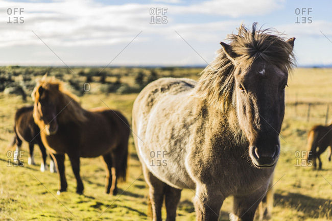 Icelandic horses in field along route 1, Iceland, Europe